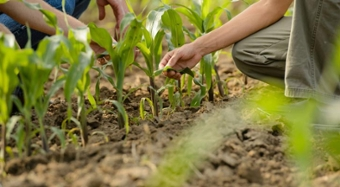 Clemson researchers kneel to examine crops in a field