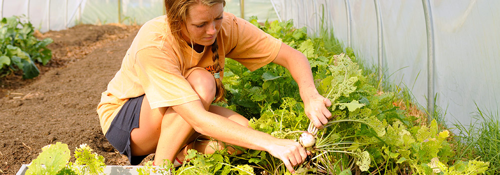 Harvesting in a Green House at Clemson University, South Carolina