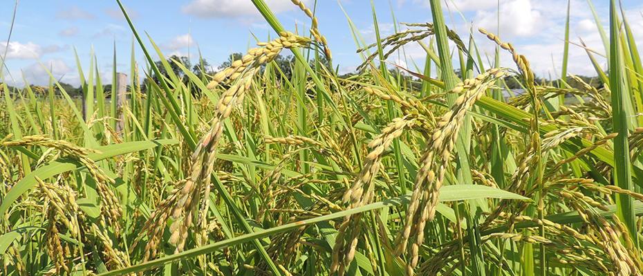 Rice Research | College of Agriculture, Forestry and Life ...