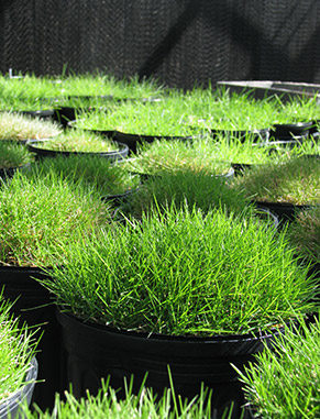 Turf research plots serve our turfgrass students and faculty with a facility where they are able to conduct research. Projects may look at different types of turfgrass management and evaluations, disease, pest, irrigation and drainage concerns.
