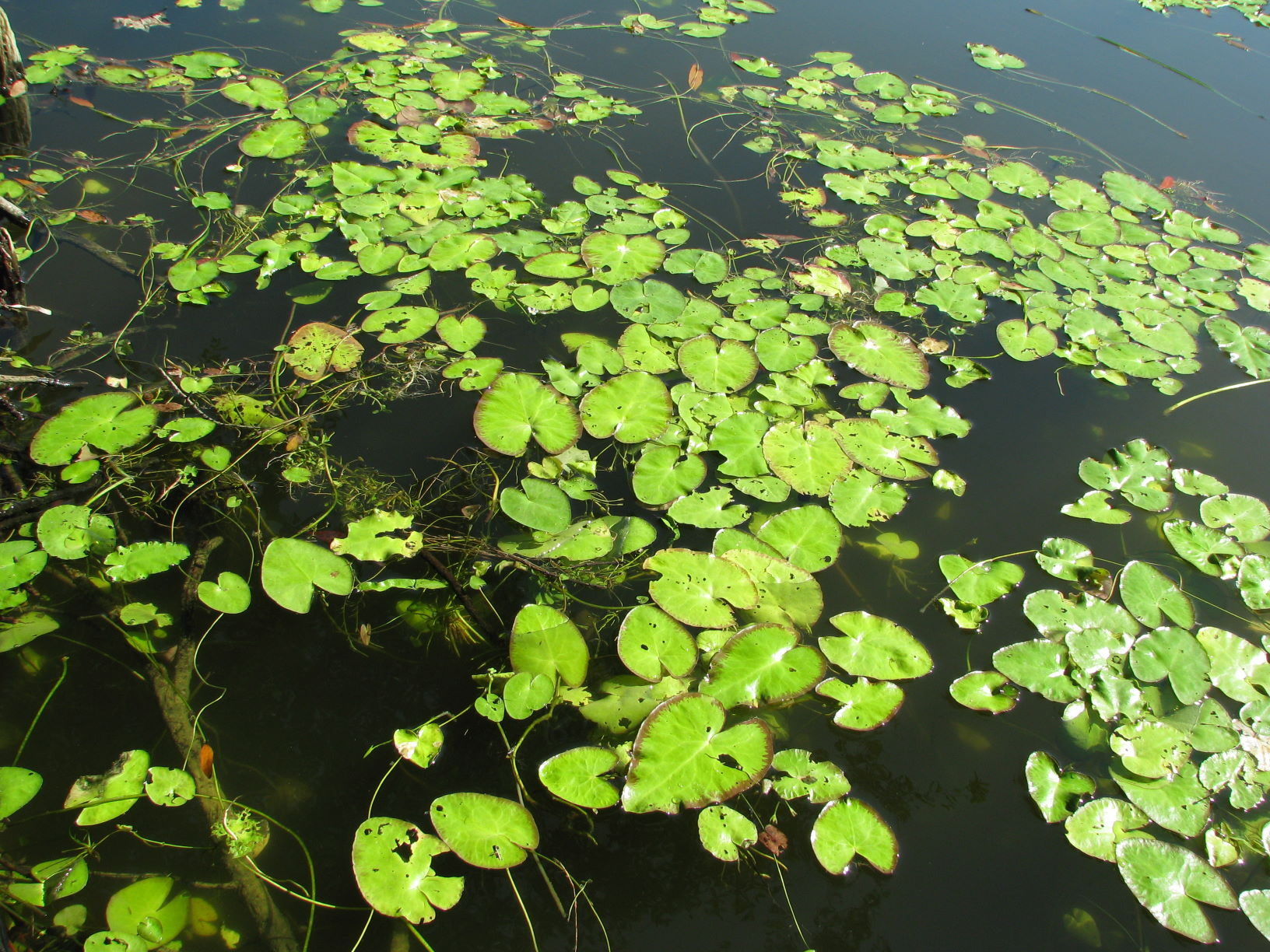 Floating aquatic plants college of agriculture forestry for Floating flowers in water