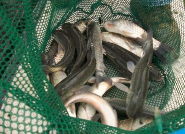 Stocking and harvesting fish in stormwater ponds college for Stocked fishing ponds