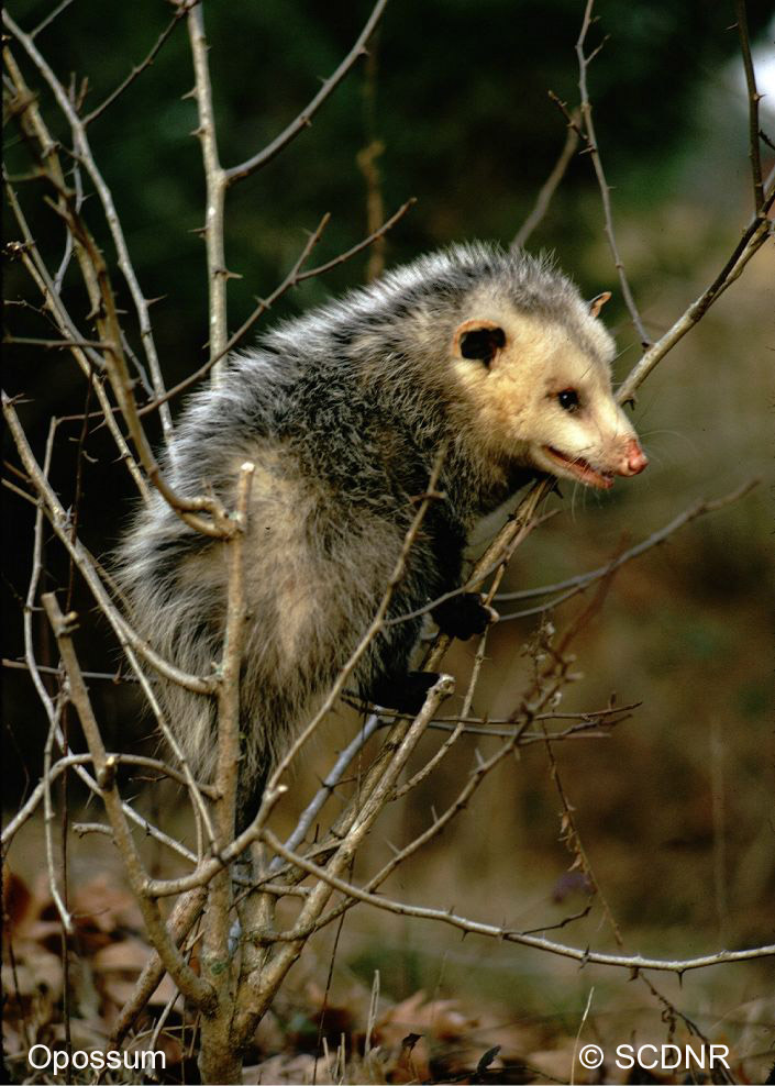 You Never Hear Much About Shrew-Opossums - Scientific American ...