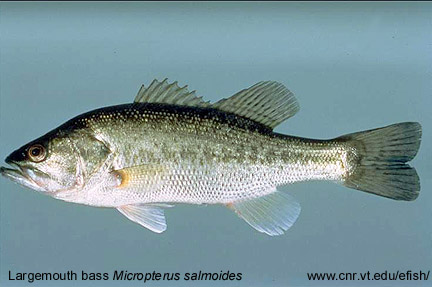 Fish of the Clemson Experimental Forest | Public | Clemson